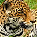 Costa-Rica-Exotic-Wildlife-Jaguar-1